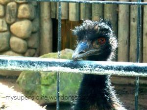 emu paddock zoo 1