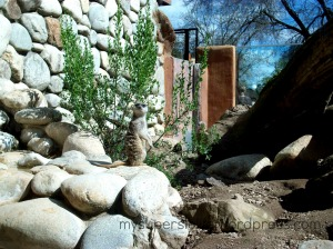 meerkat paddock zoo