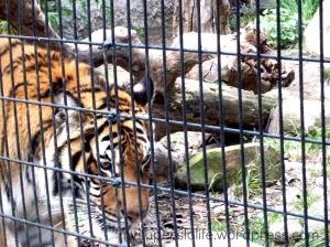 tiger paddock zoo 2